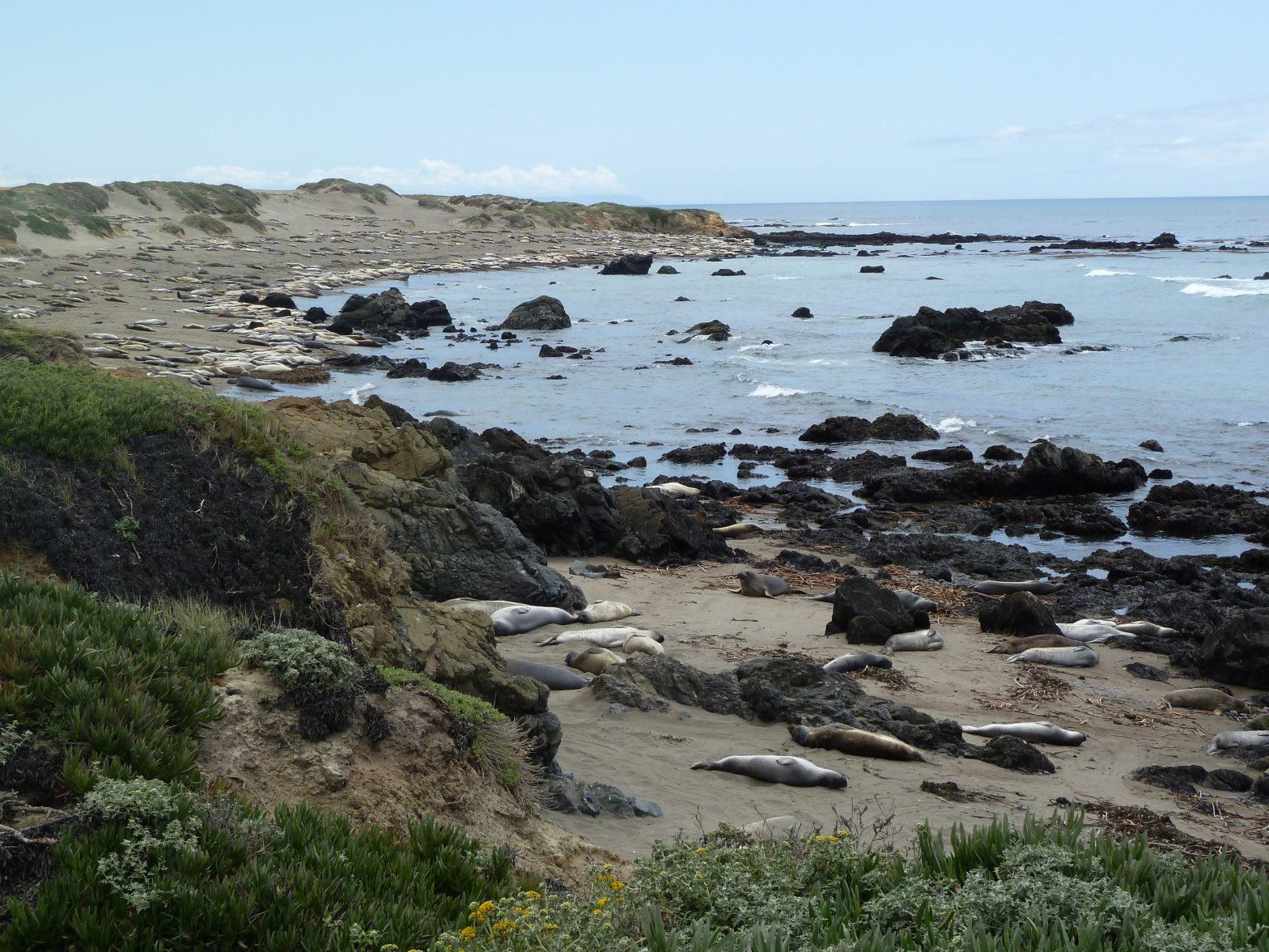 zeeolifanten seaelephants san simeon roadtrip amerika